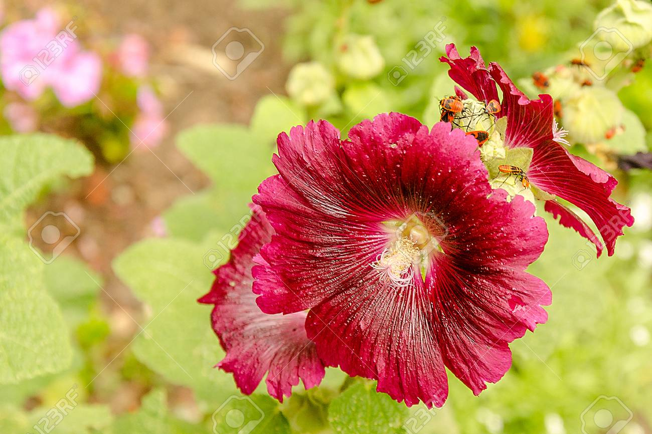 Bright Pink Flower Of Purple Hibiscus On Green Nature Background