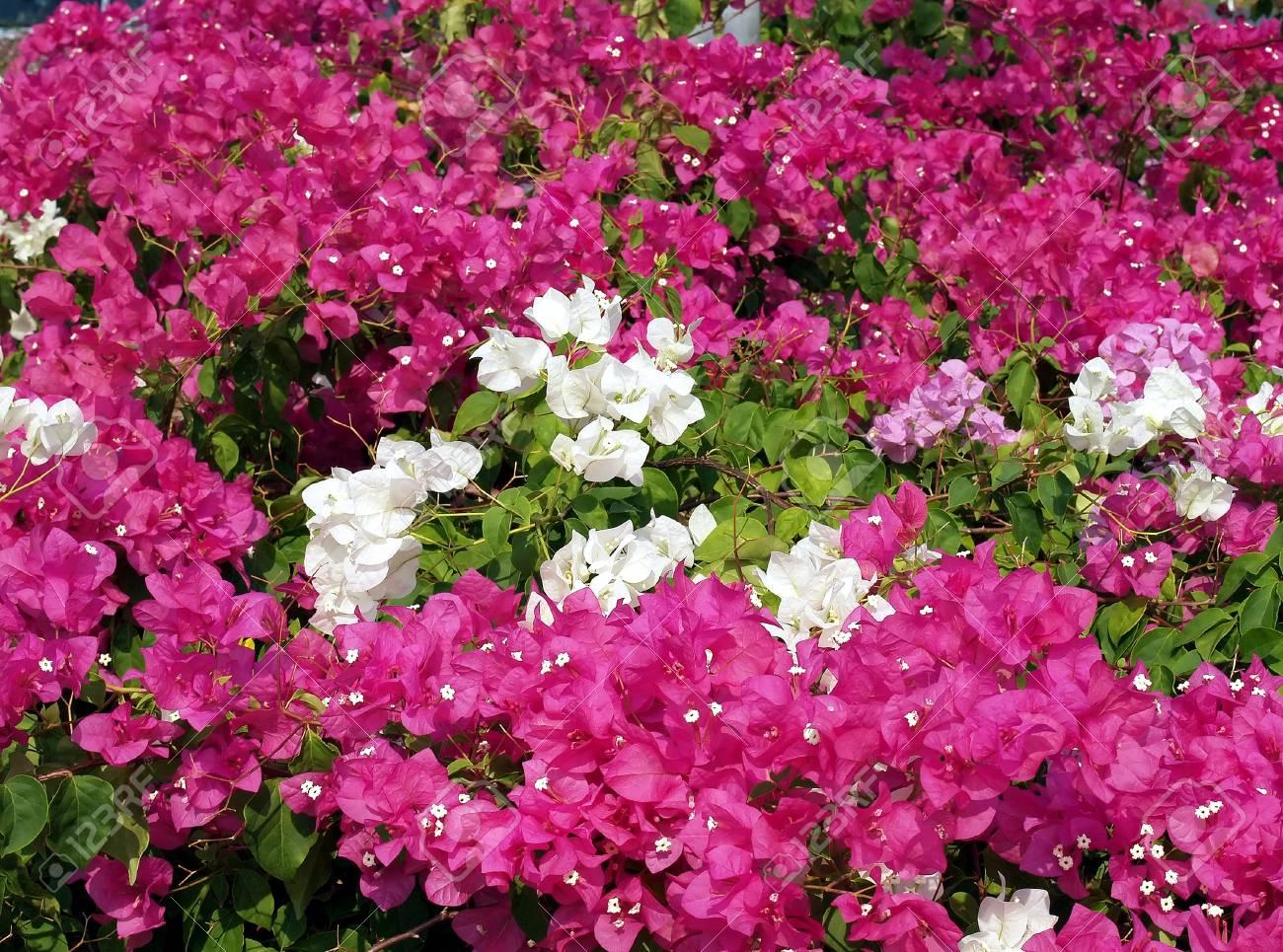 Purple And White Flowers Colorful Bougainvillea Bush For Decorative