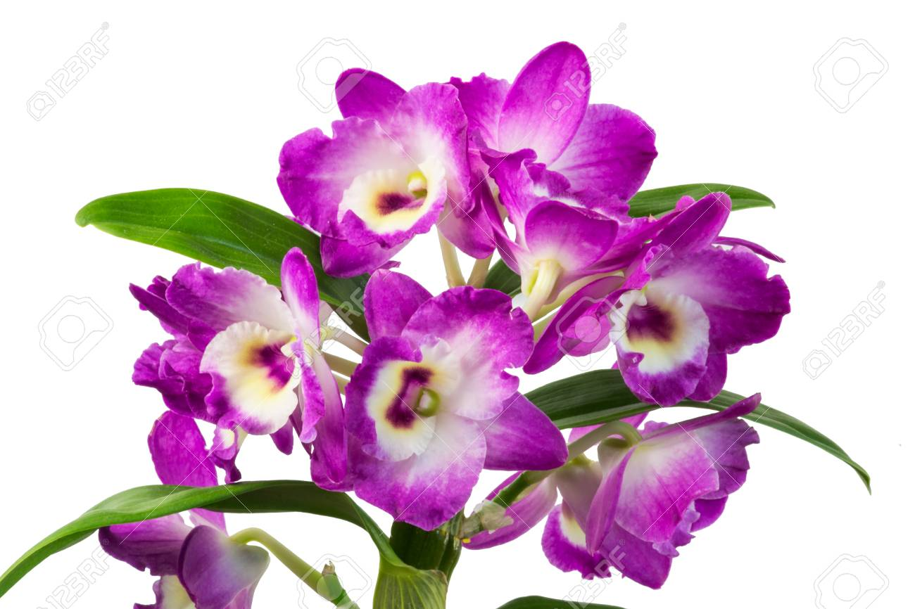 Orchid purple flowers isolated on white background stock photo orchid purple flowers isolated on white background stock photo 79969635 mightylinksfo