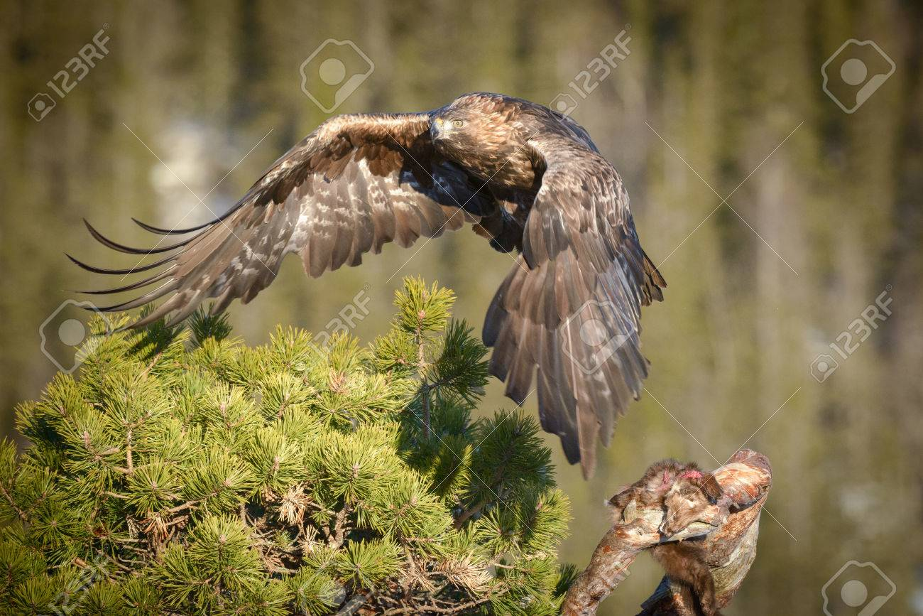 a young male golden eagle flies away from his pine marten meal