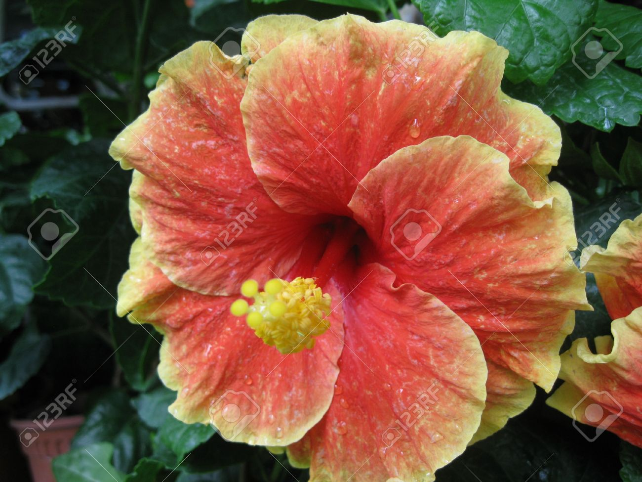 Big New Type Hibiscus Flower Stock Photo Picture And Royalty Free