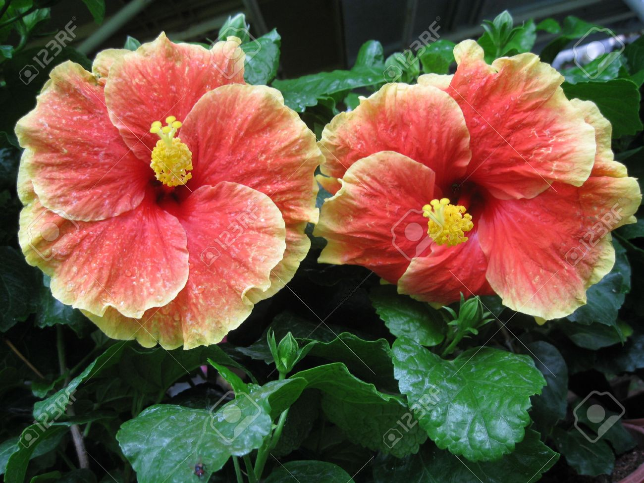 Two Big New Type Hibiscus Flowers Stock Photo Picture And Royalty