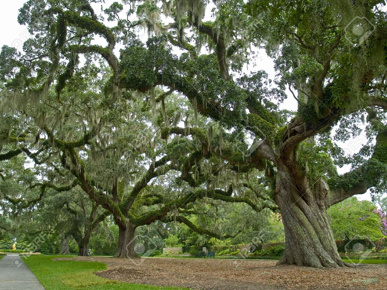 Large Live Oak Trees On A Former Plantation Now Called Brookgreen ...