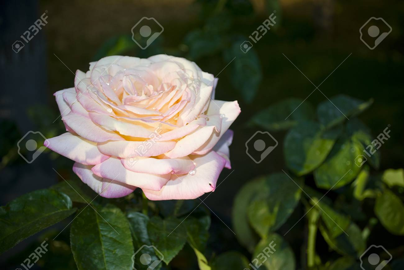A close-up look of a pink rose in a Southern California garden. Stock Photo - 14648065