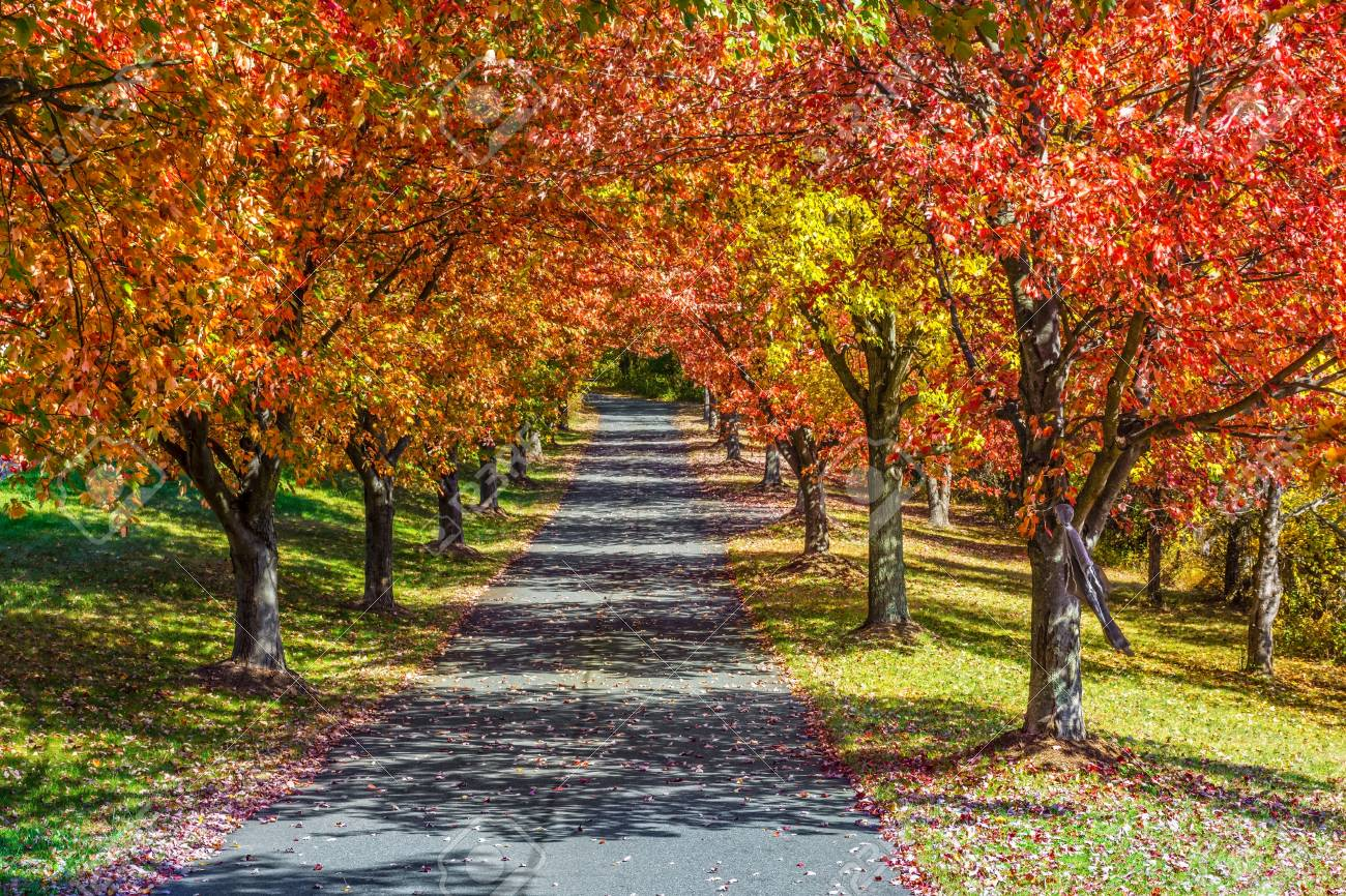 vibrant autumn colors on this row of trees ling a driveway in