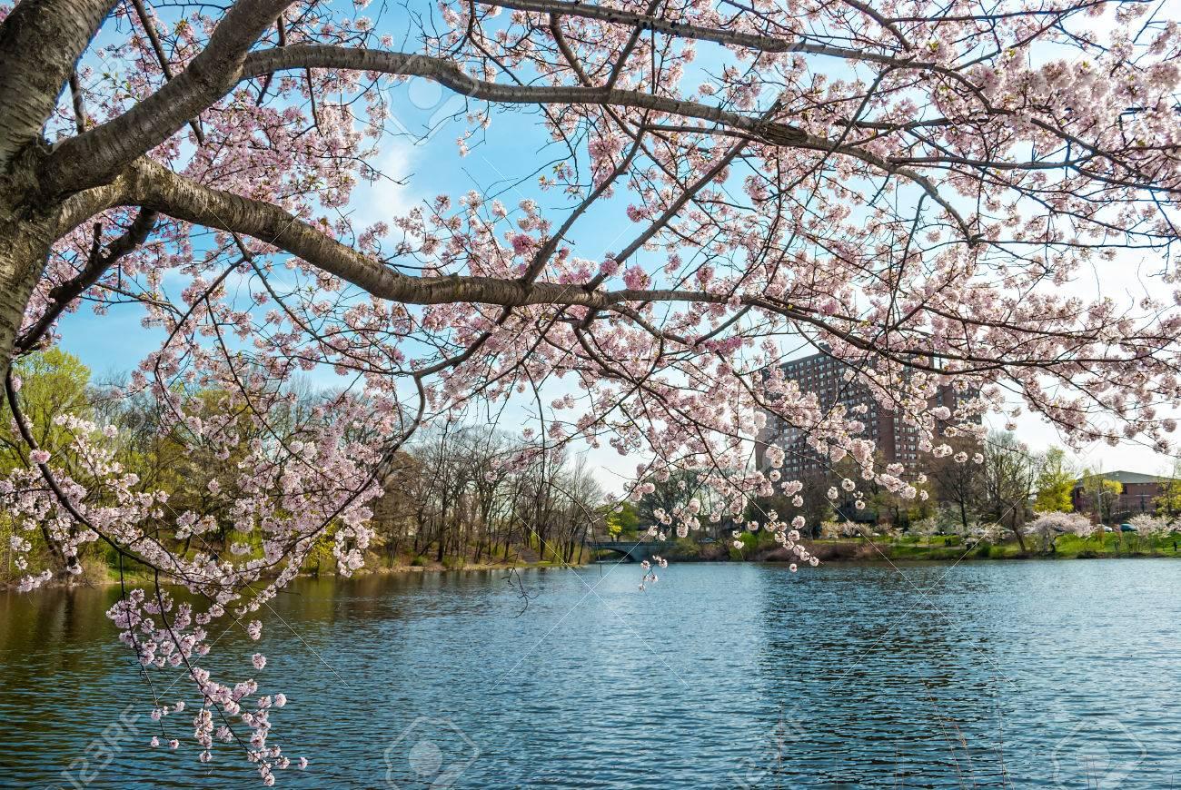 branch brook park cherry blossom 2020