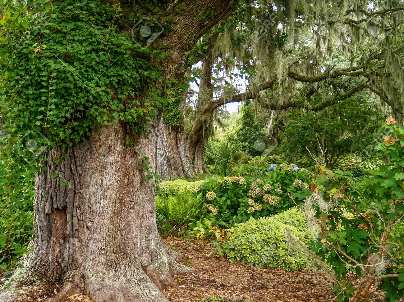 Large Giant Oaks In Brookgreen Gardens Near Myrtle Beach In South ...