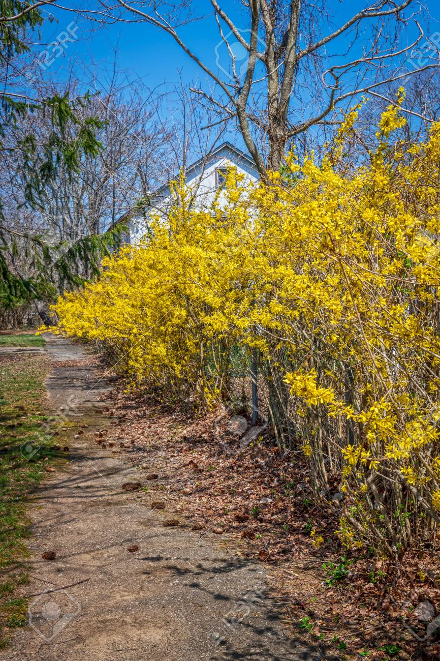Bright Yellow Forsythia Bushes In Sanford Recreation Park In