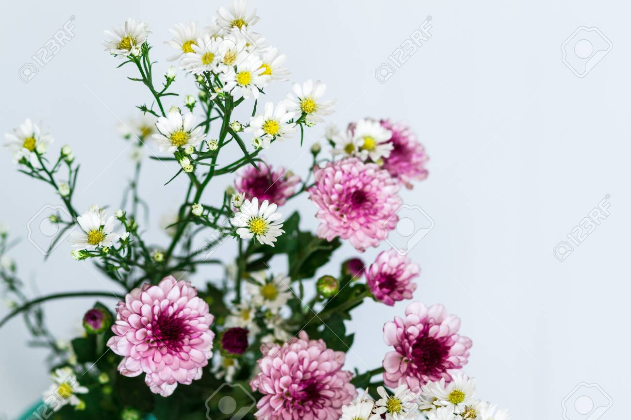 White And Pink Aster Flowers Close Up Stock Photo Picture And