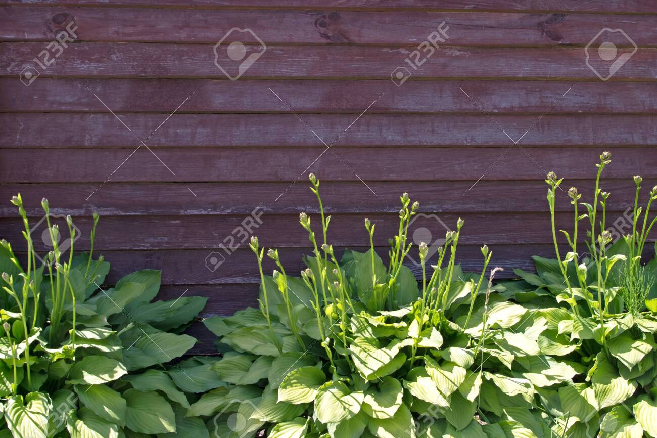 Green Hostas Plants Growing On The Background Of Painted In