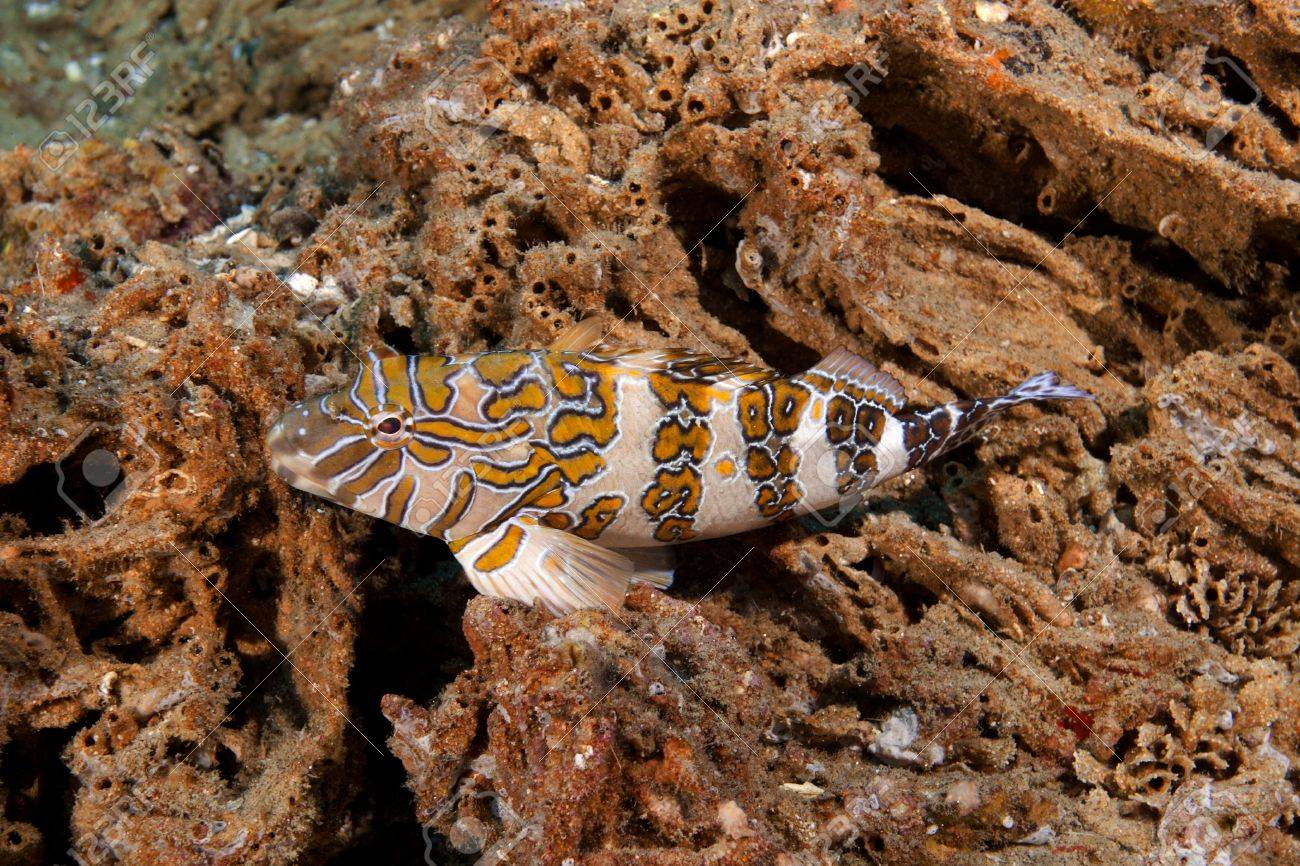 Giant Hawkfish (Cirrhitus rivulatus) is a subspecies of hawkfish. The fish i purched on tubeworm tubes Photographed in the Sea of Cortez Stock Photo - 11772207