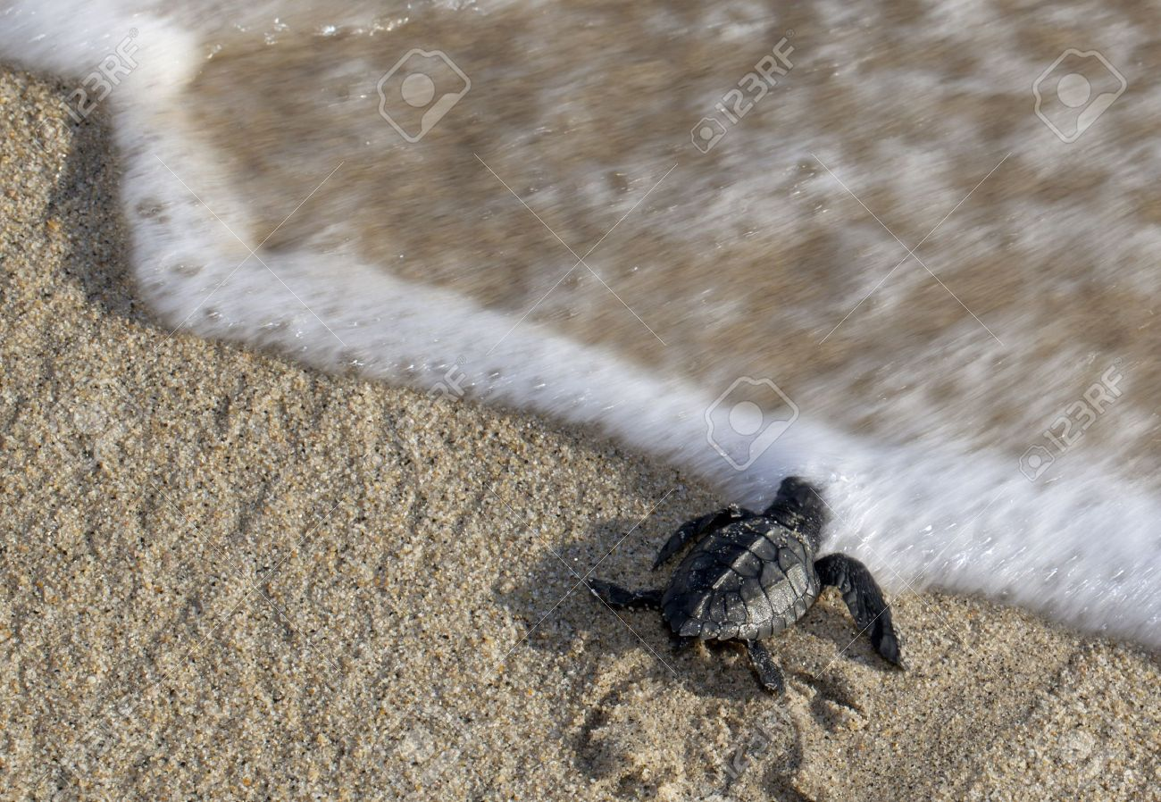 A baby olive ridley sea turtle lepidochelys olivacea also stock a baby olive ridley sea turtle lepidochelys olivacea also known as the pacific publicscrutiny Image collections
