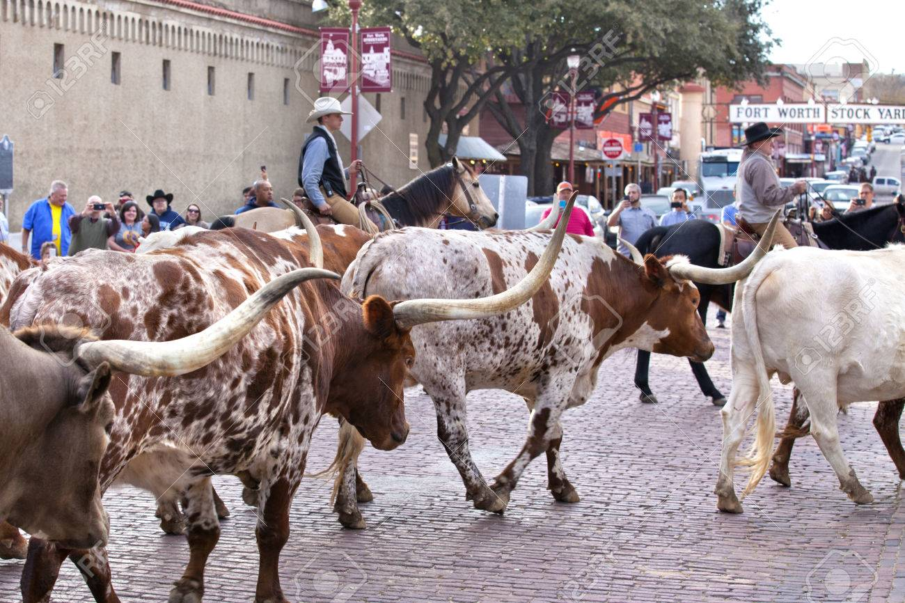 Cattle Drive Of Texas Longhorn In The Historic National Stockyards Stock Photo Picture And Royalty Free Image Image 51490792