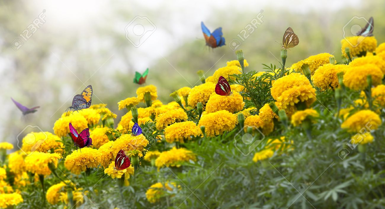 Merveilleux Marigold Yellow Flower With Butterfly And Moring Light. Stock Photo    12430616