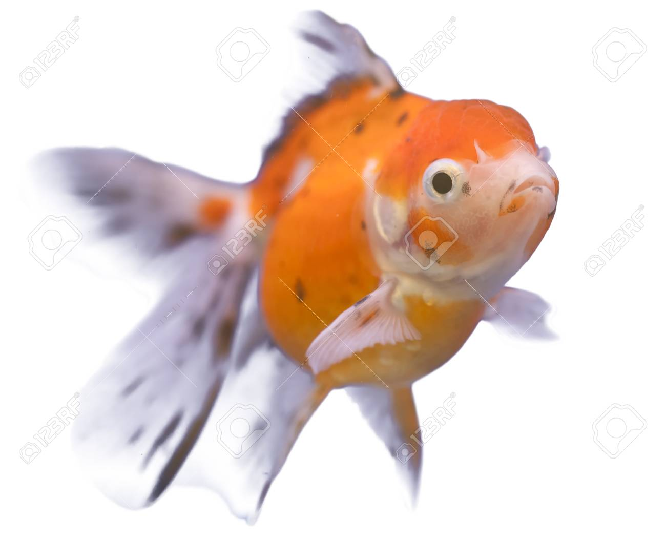 golden fish swim on white isolated background Stock Photo - 14398384