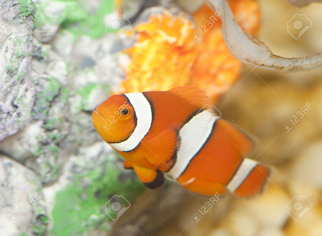 a clown anemonefish swimming in the tentacles of its sea anemone Stock Photo - 14398457
