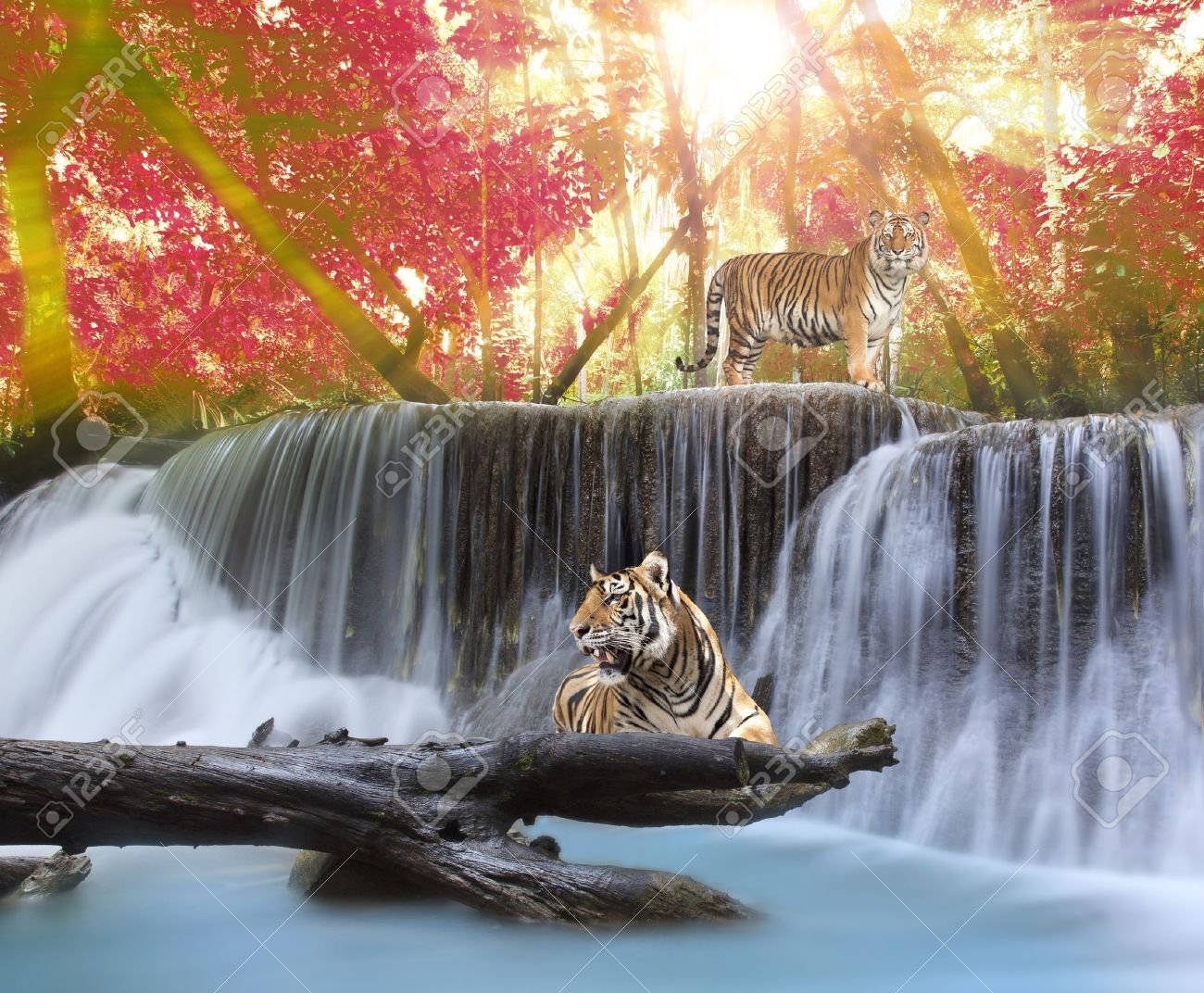 tiger in the jungle stock photo, picture and royalty free image