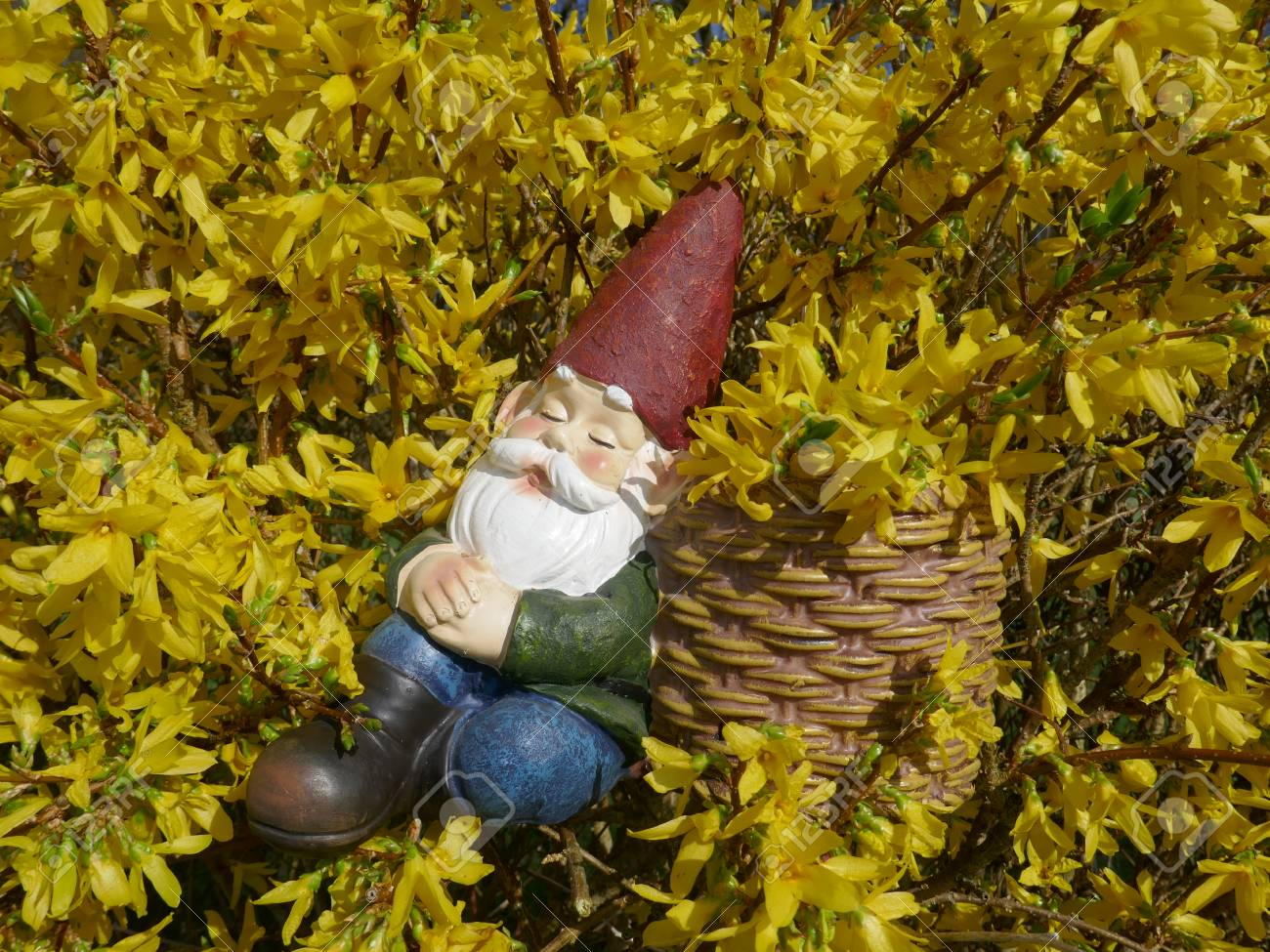 Asleep Garden Gnome Sits In A Blooming Forsythia Bush And Leans ...