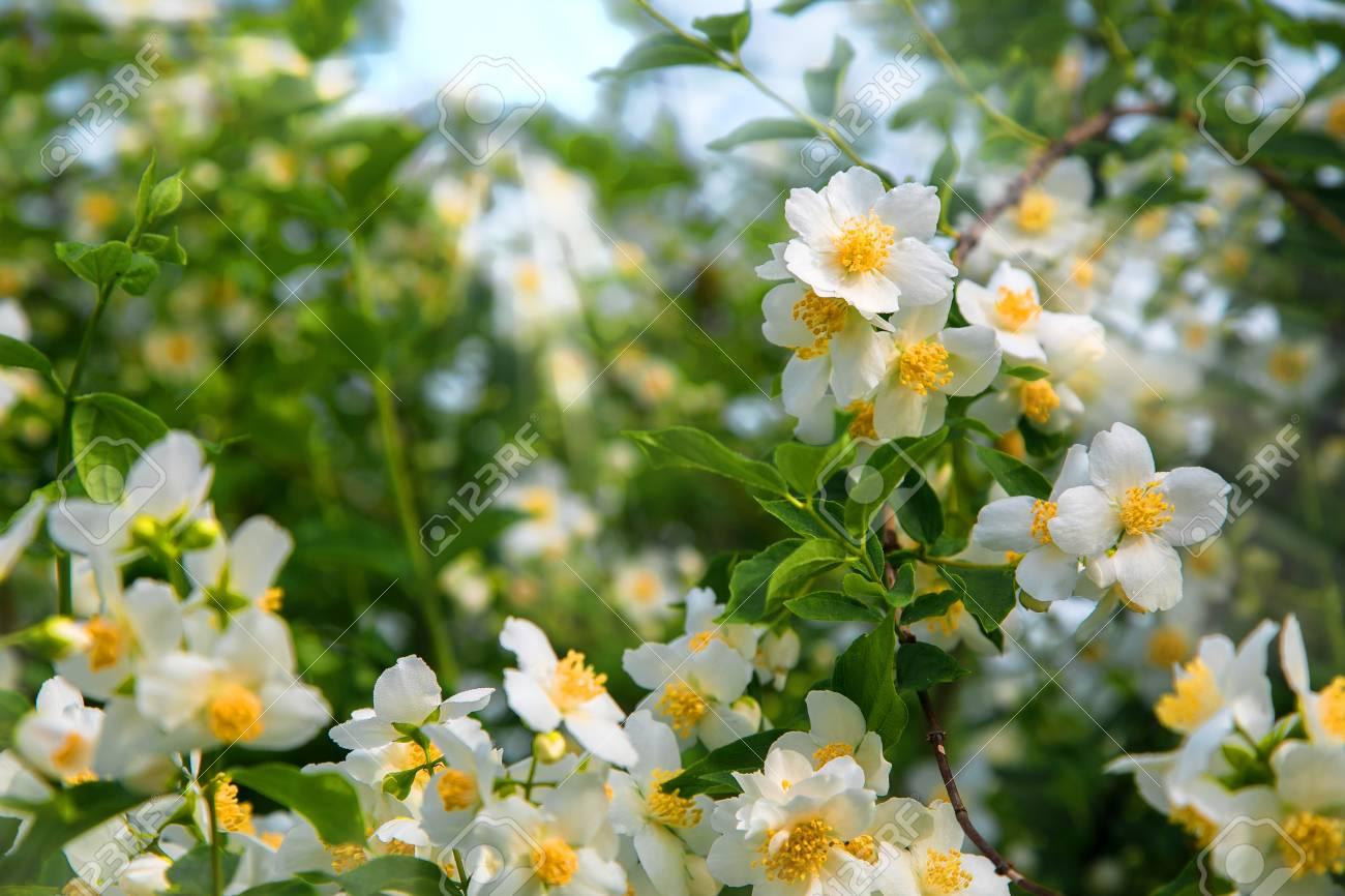 Beautiful white spring flowers jasmine in the morning dew a stock beautiful white spring flowers jasmine in the morning dew a large shrub in a rural mightylinksfo