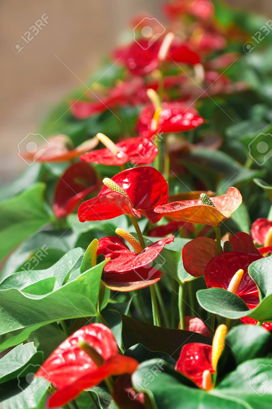 Beautiful Red Flowers With Green Leaves In The City Park A Big