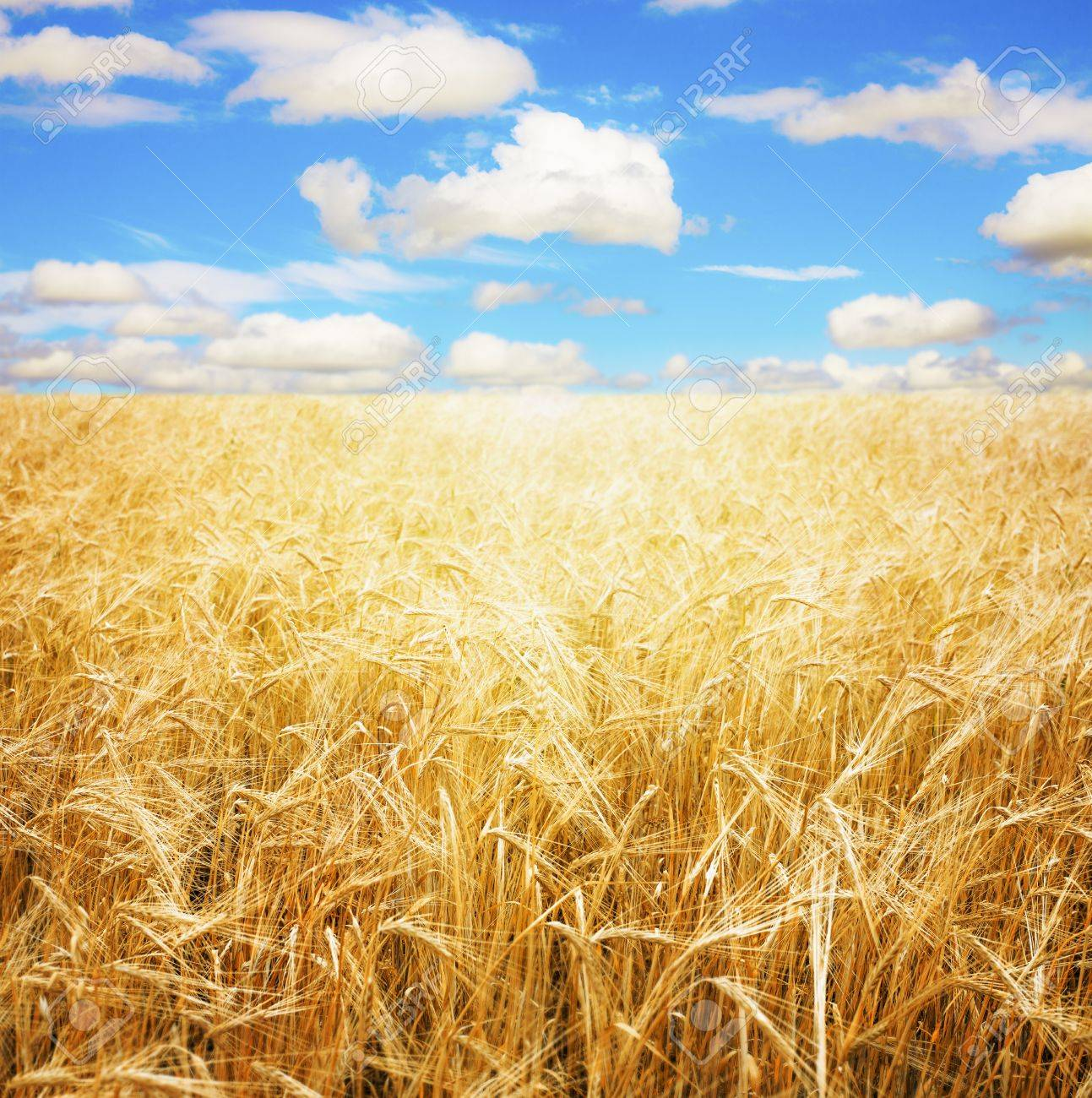 Wheat field and blue sky Stock Photo - 19877123