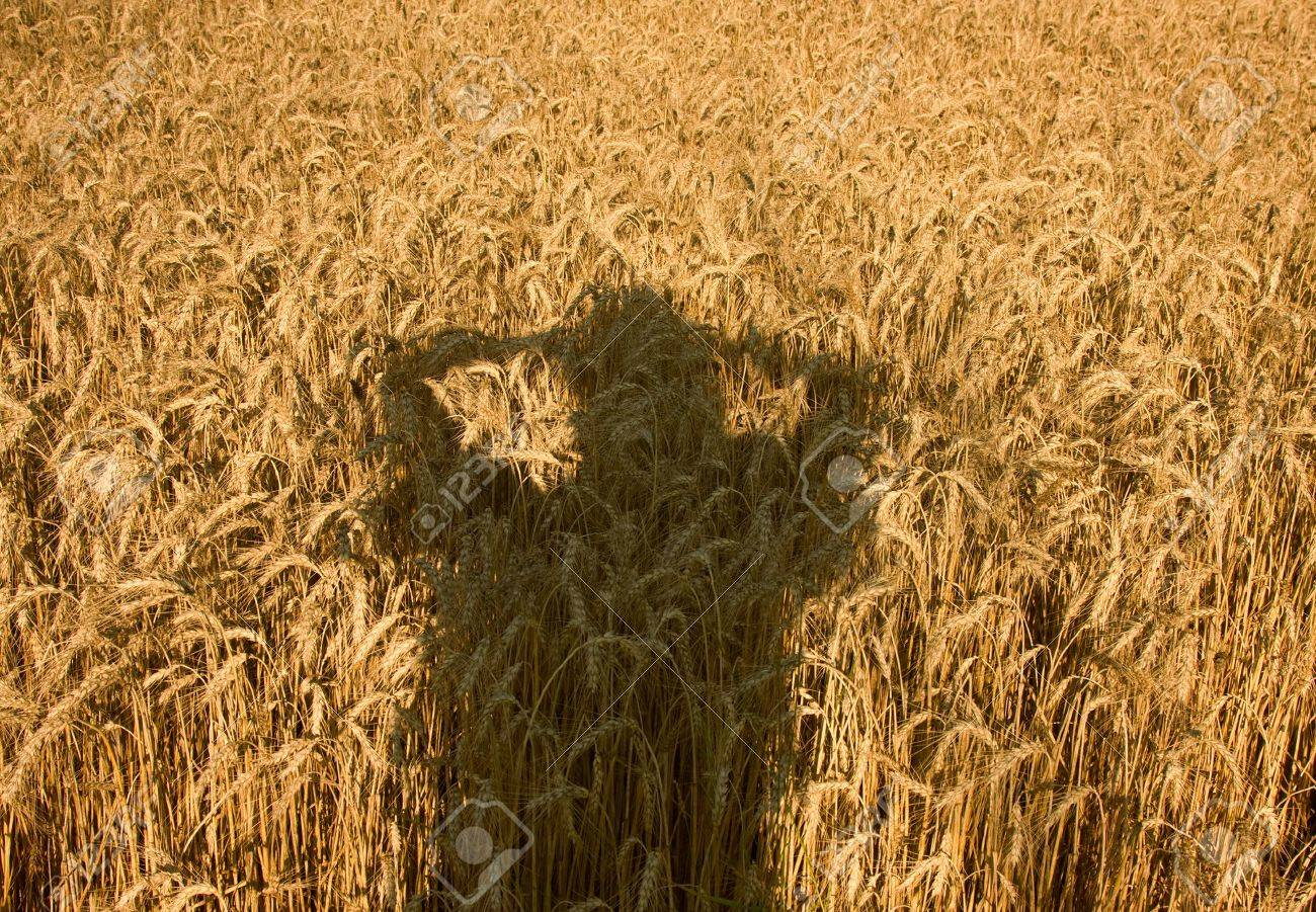 Human shade on the field of ripe wheat Stock Photo - 4368961