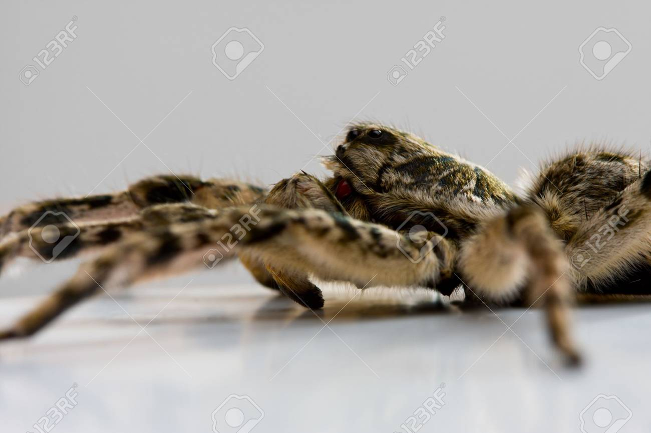 Extreme close up of spider tarantula over white background Stock Photo - 6486369