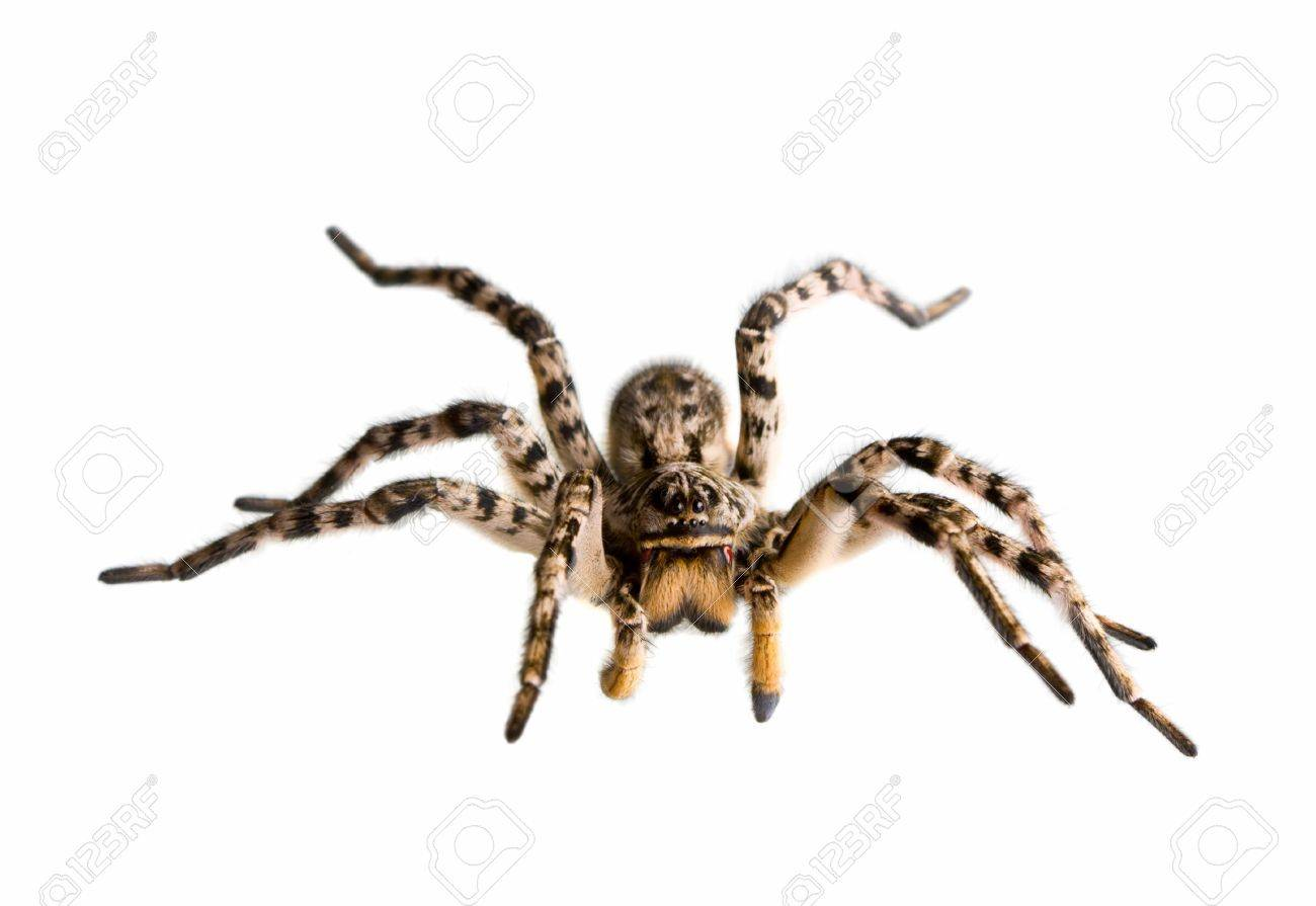 Macro of spider ready for attack, isolated on white Stock Photo - 6872052