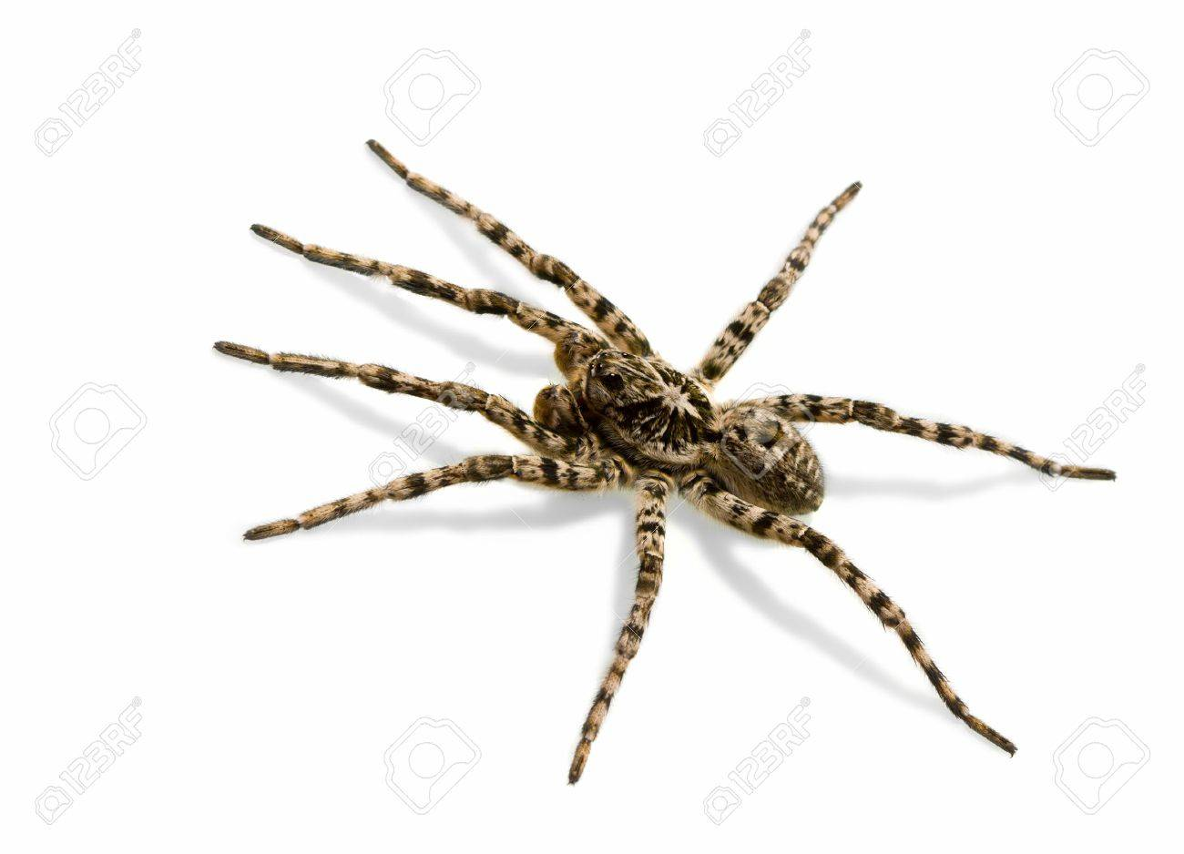 Tarantula spider isolated over white background with shadow Stock Photo - 6872053