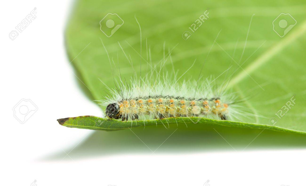 Hyphantria cunea larva on green leaf isolated on white Stock Photo - 19159712