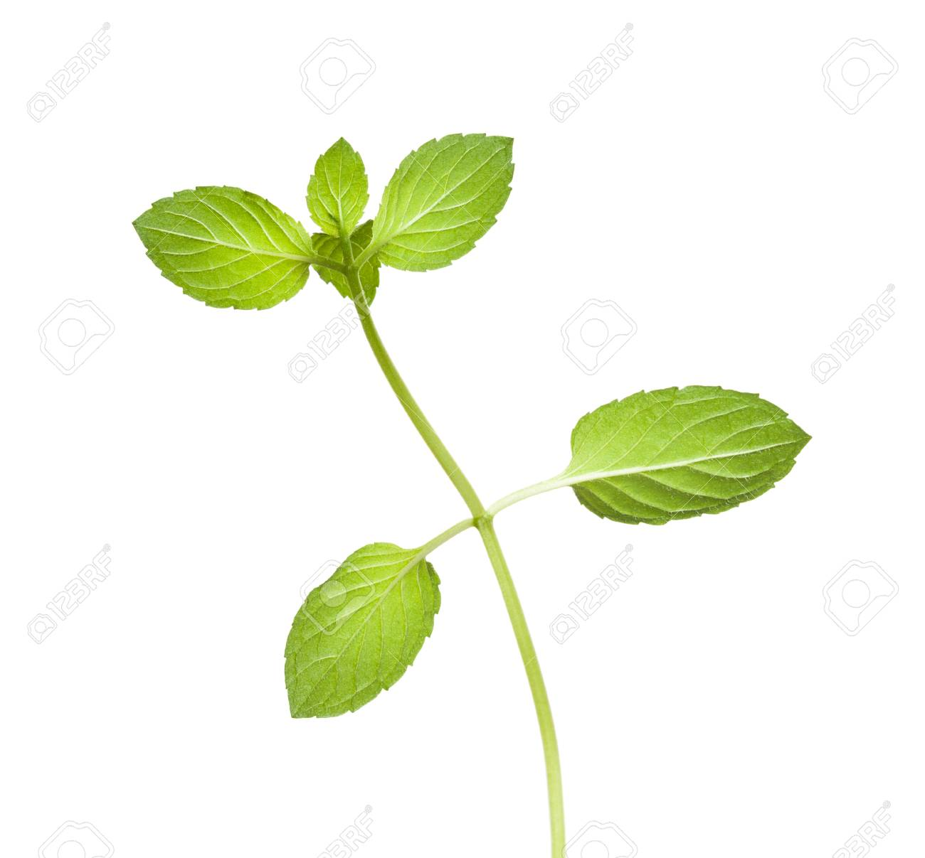 Overleaf of peppermint Mentha piperita twig isolated on white