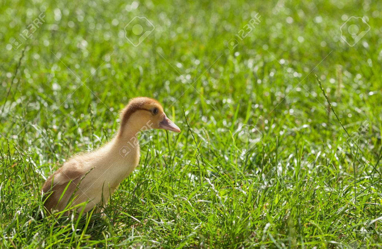 side view of little yellow fluffy duckling on green grass background