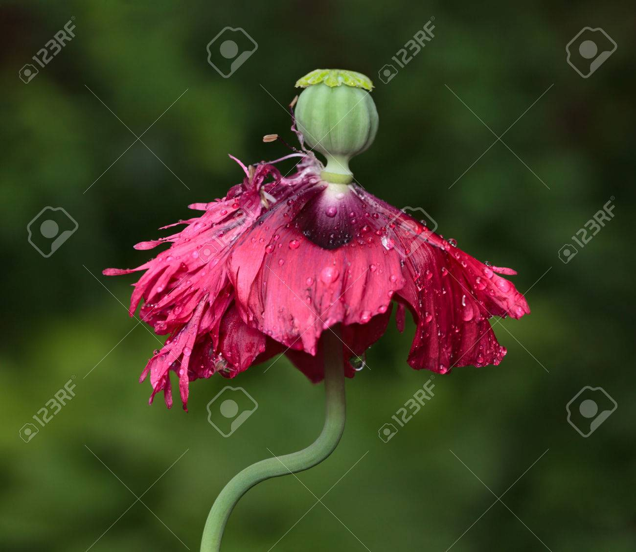 Poppy Flower Papaver Paeoniflorum After Blooming And New Green