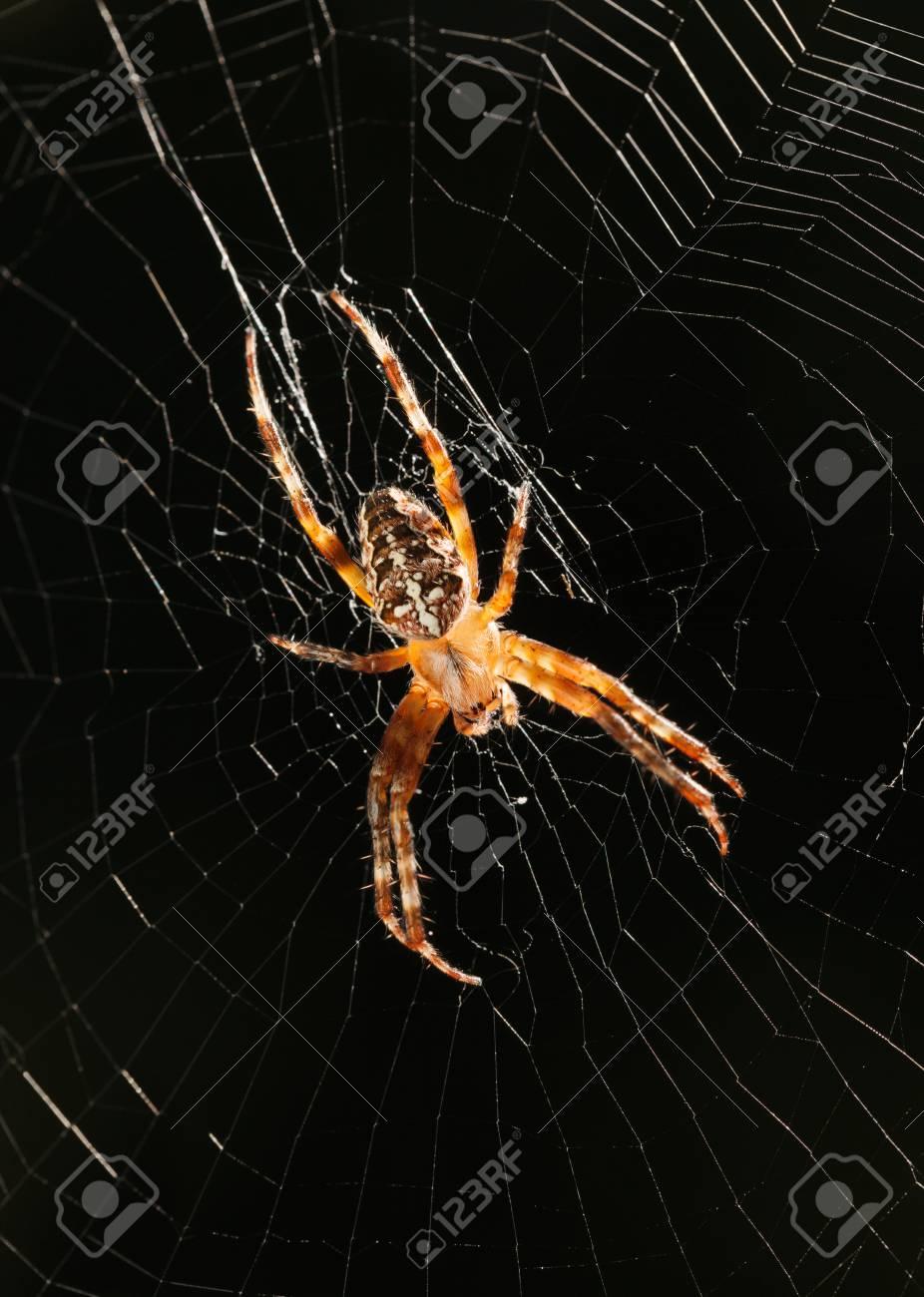 Macro of big garden spider (Araneus diadematus) waiting for prey..