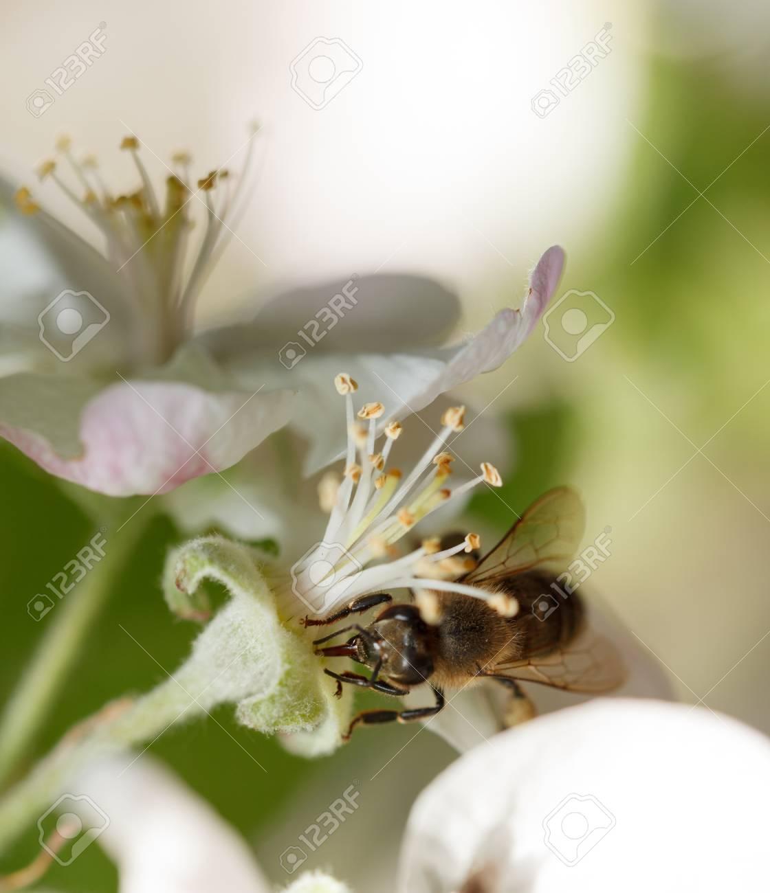 Macro of honeybee (Apis mellifera) collect nectar of apple tree