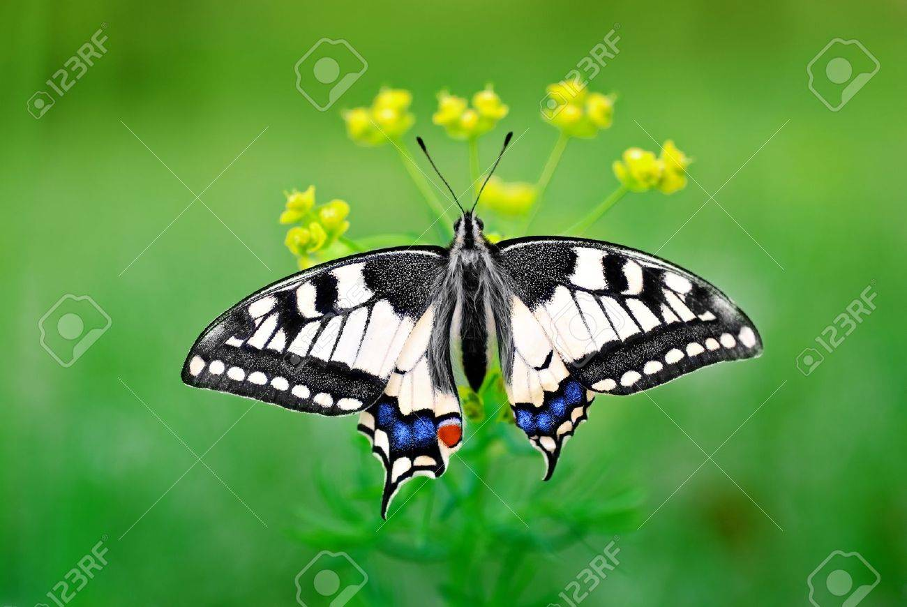 Eastern Tiger Swallowtail Stock Photo - 12924338