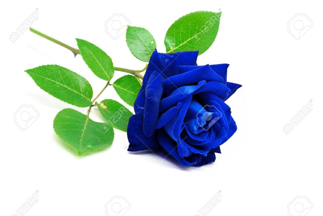 Blue rose isolated on white background Stock Photo - 14780163
