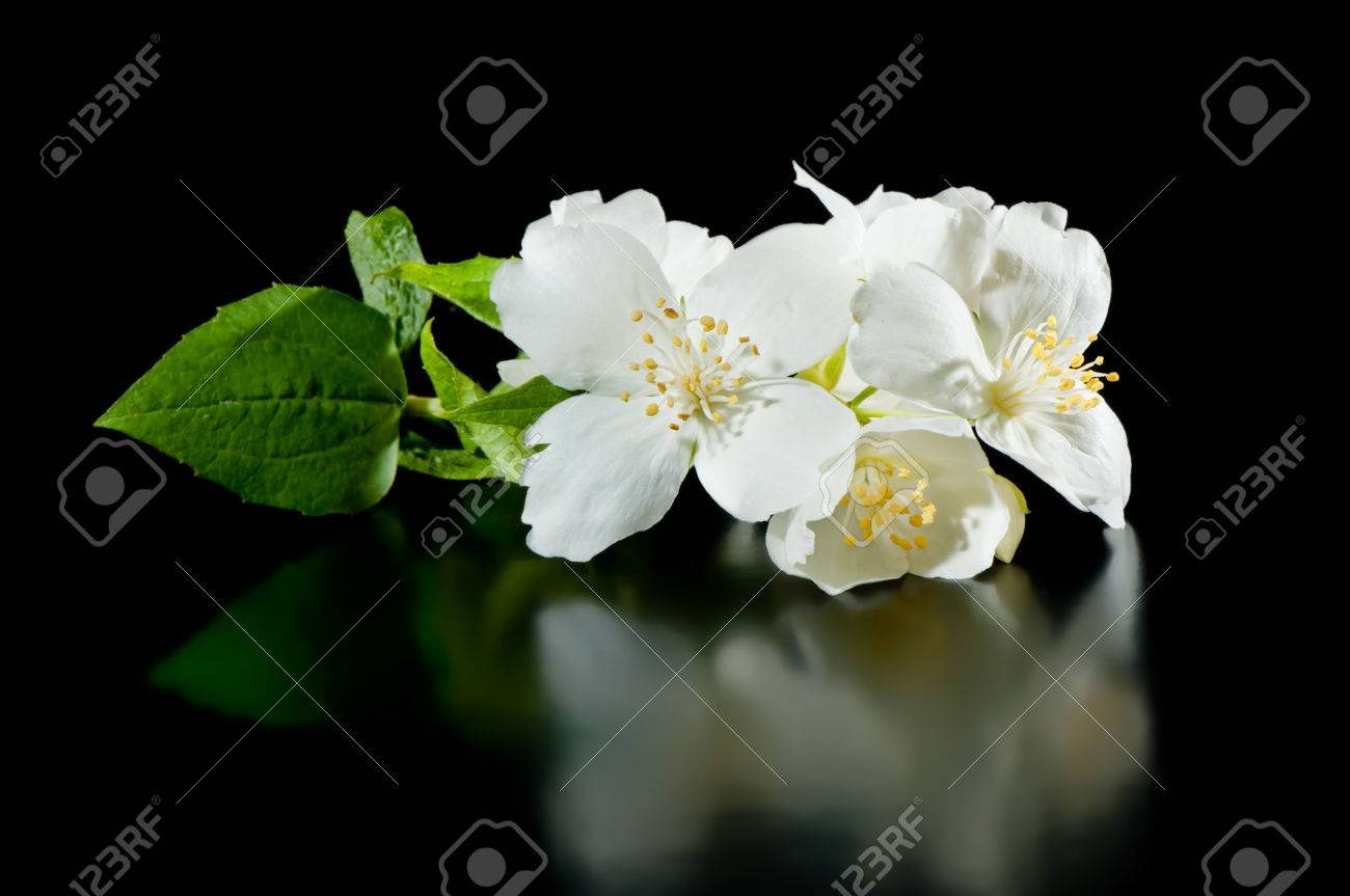 Jasmine flowers on a black background with reflection stock photo jasmine flowers on a black background with reflection stock photo 29723402 izmirmasajfo