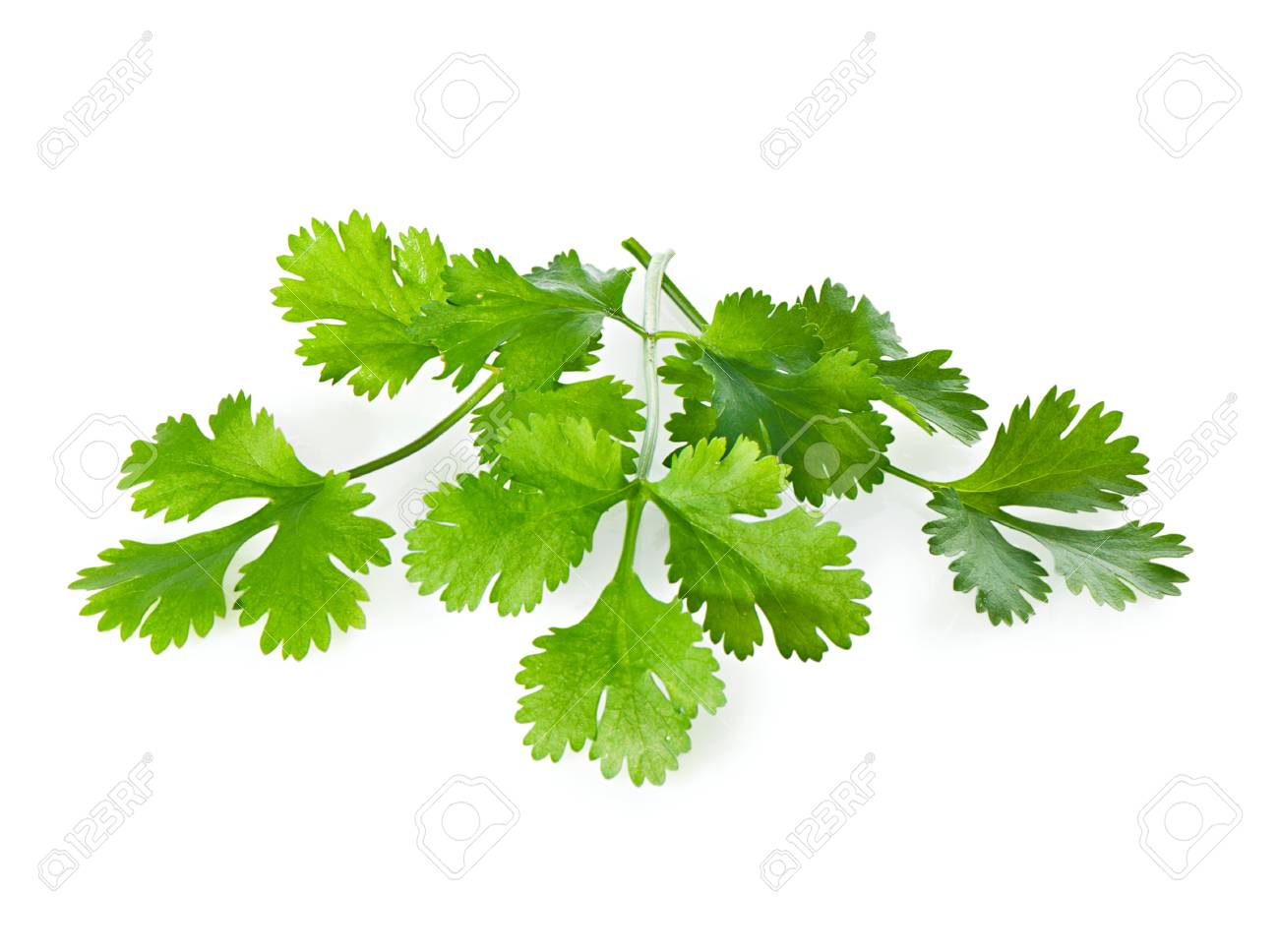 Three Fresh Coriander leaves on a white background close-up. - 42314453