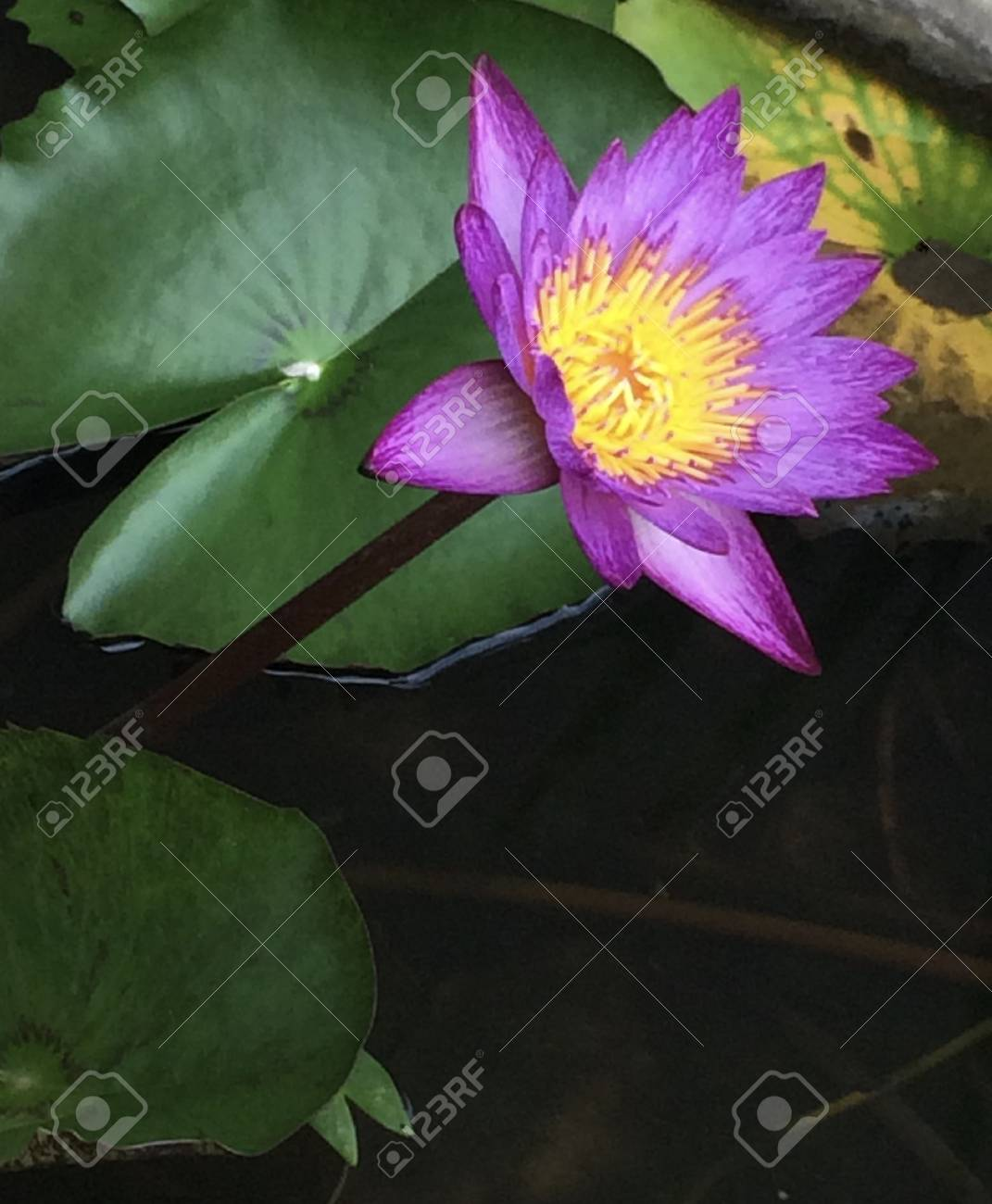 Open lotus flower stock photo picture and royalty free image image open lotus flower stock photo 72522209 izmirmasajfo