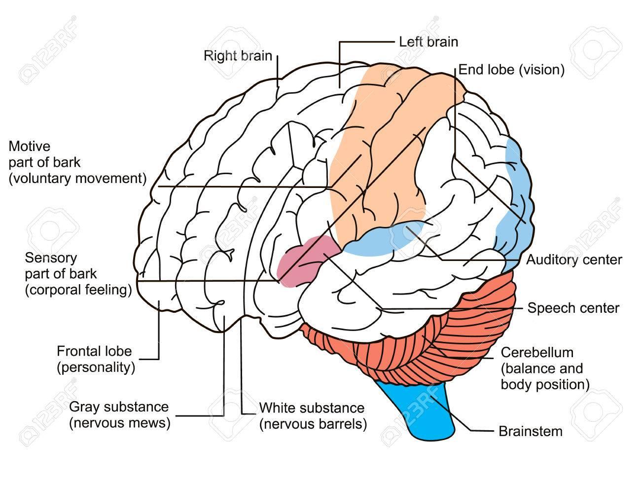 Diagrama De Secciones De Cerebro. Ilustración Fotos, Retratos ...