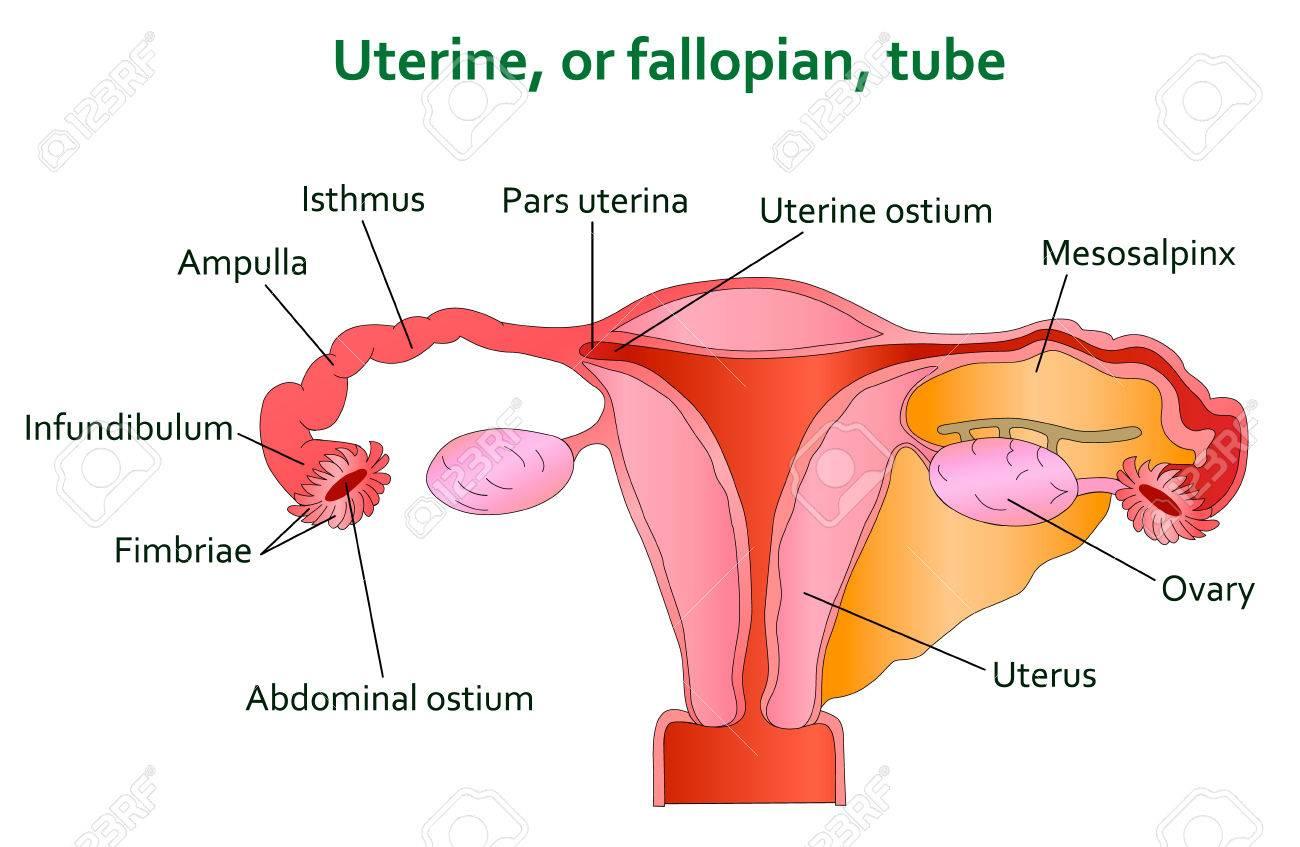 Gebärmutter- Und Follopian Rohr Diagramm. Lizenzfrei Nutzbare ...