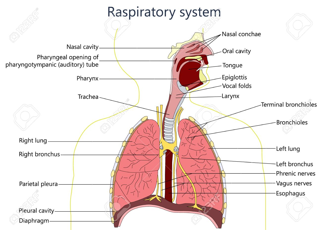 Respiratory system stock photos pictures royalty free respiratory system diagram ccuart Choice Image