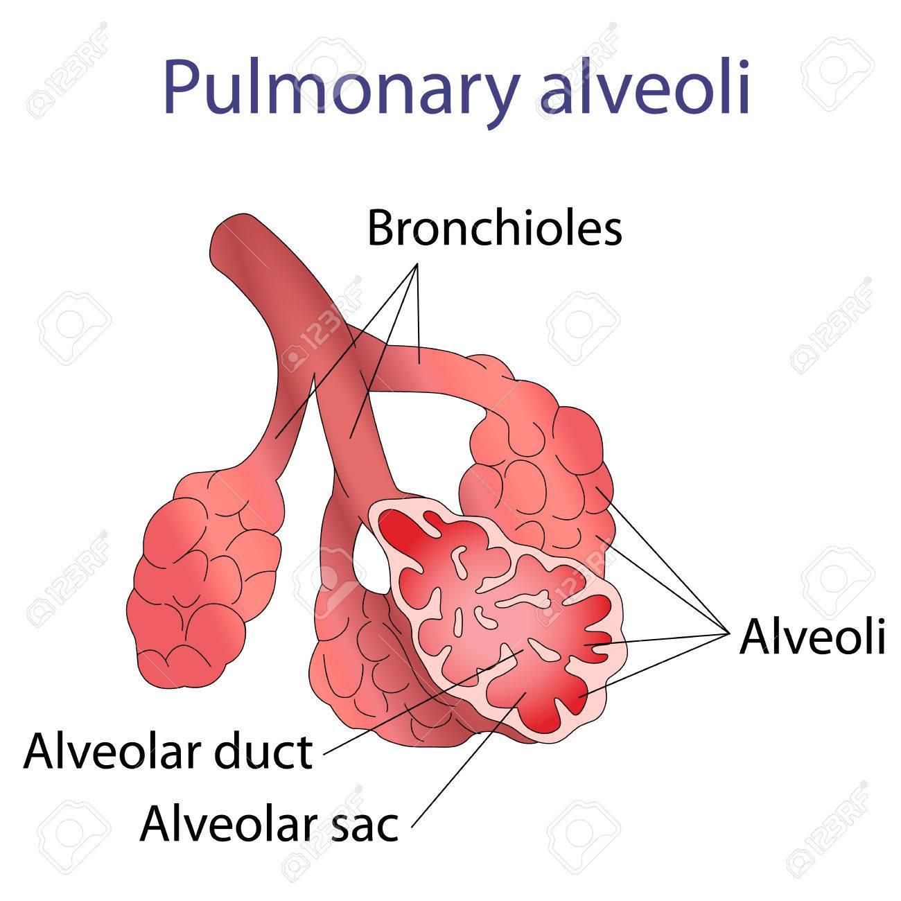 Illustration Of Human Alveoli Structure Illustration Royalty Free ...