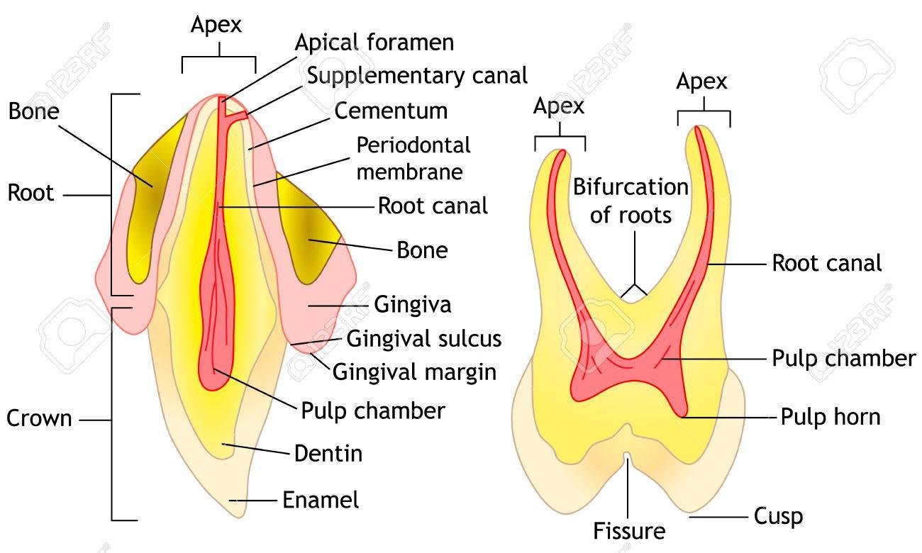Horse Teeth Anatomy 66001 | MOVIEWEB