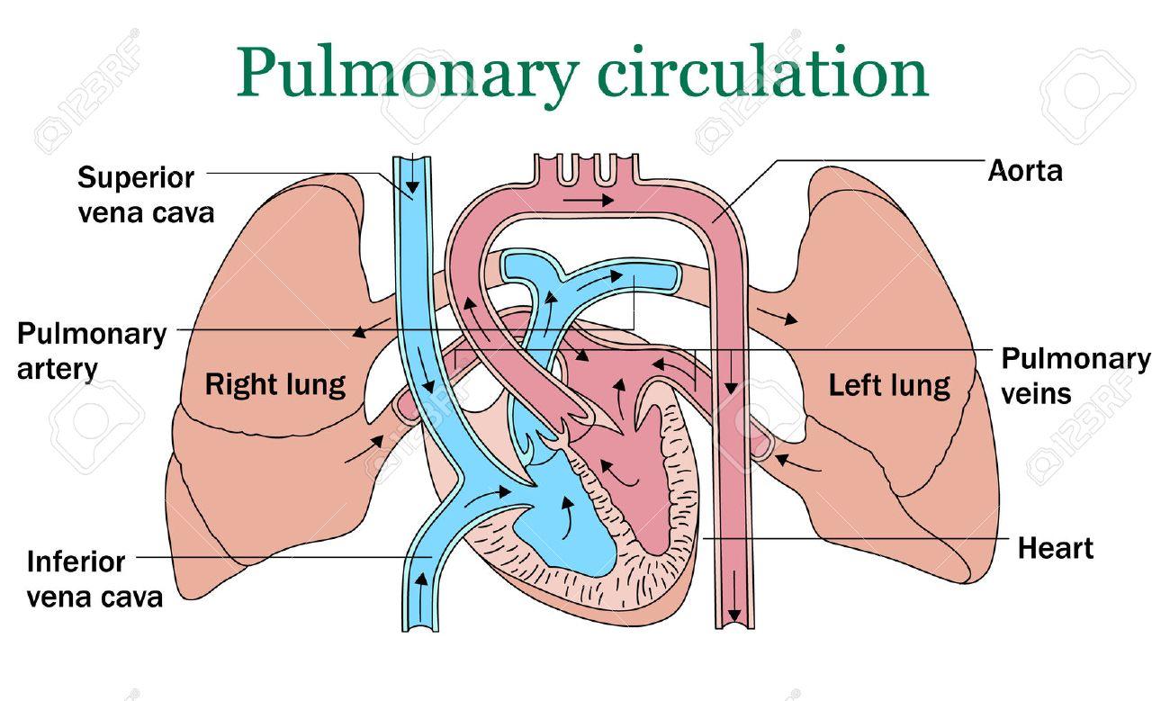 Pulmonary circulation vector illustration on white background - 60459666