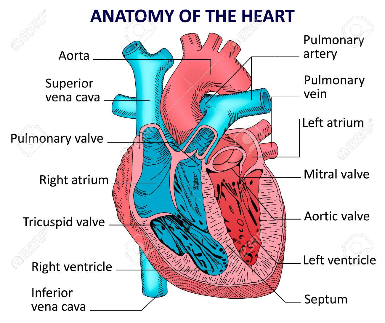 Human Heart Anatomy Royalty Free Cliparts Vectors And Stock