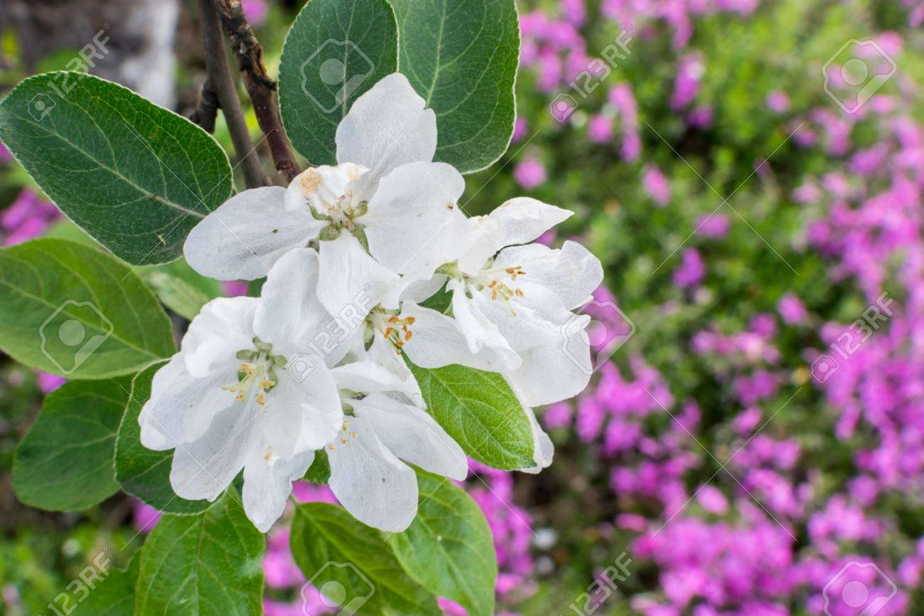 White Gentle Apple Tree Flowers In Spring Blooming Branch With