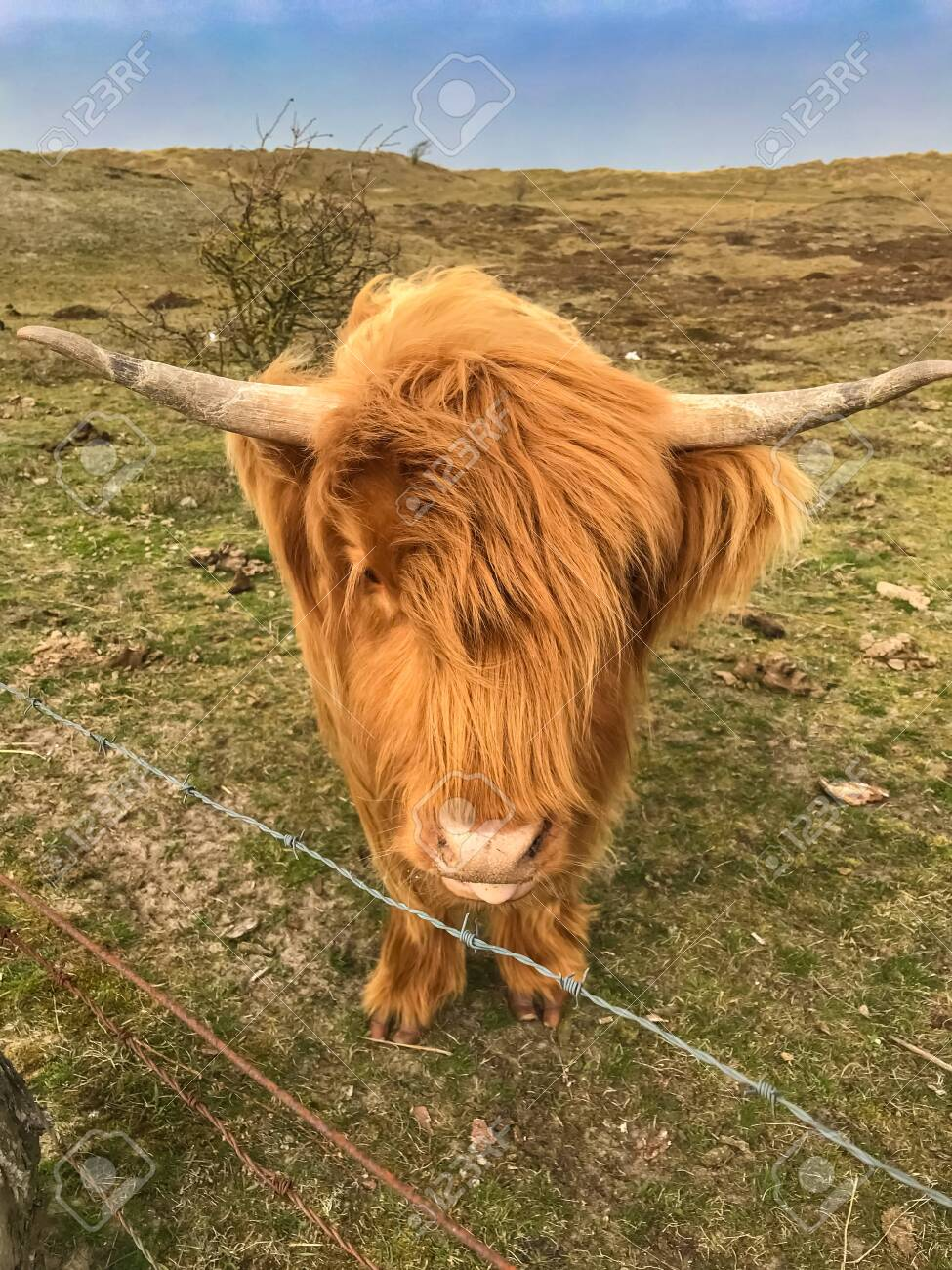Scottish Highland Cattle At The Fence Of A Pasture