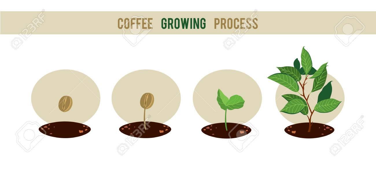 germinazione del caffè verde